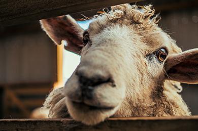 choisir son mouton pour l'Aïd_rhd