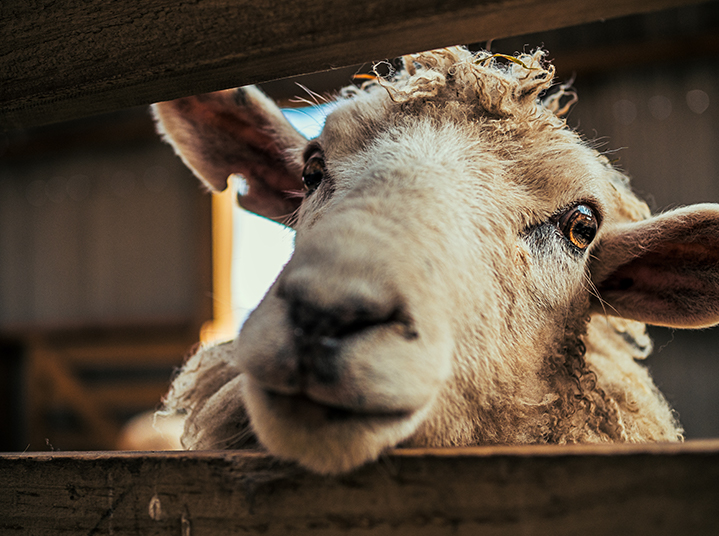 choisir_mouton
